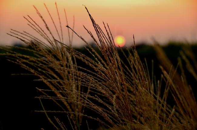 夕陽 すすき-1