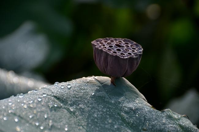 雨上がりのレンコン畑-4