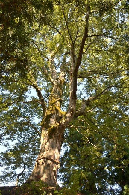 大樹 秋の陽ざし-3