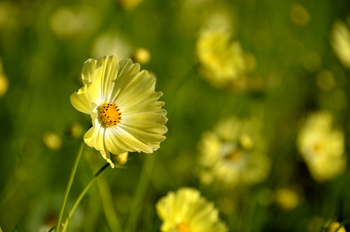 黄色いコスモス-3