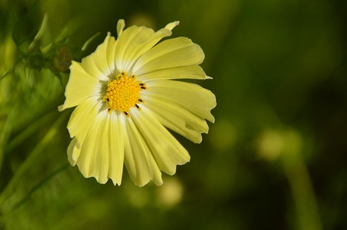 黄色いコスモス-4