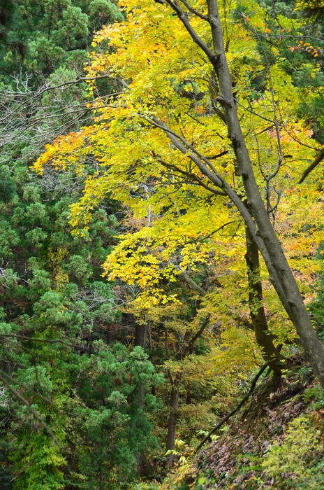 色づく葉-1-1