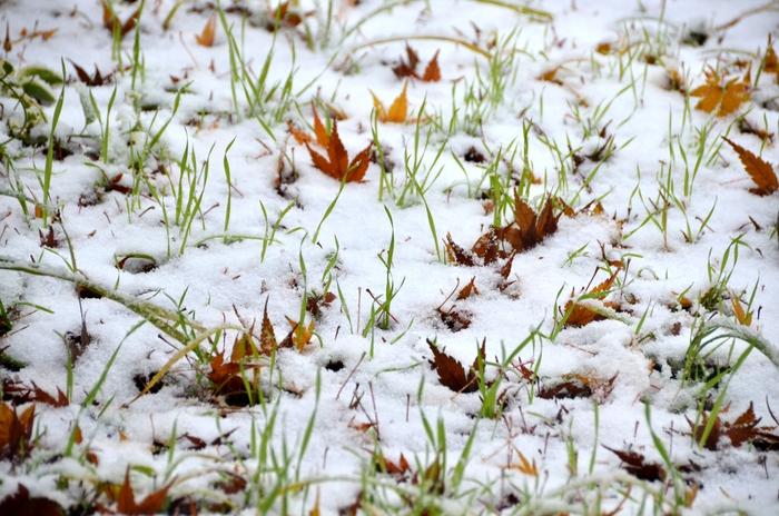 初雪 もみじ-1