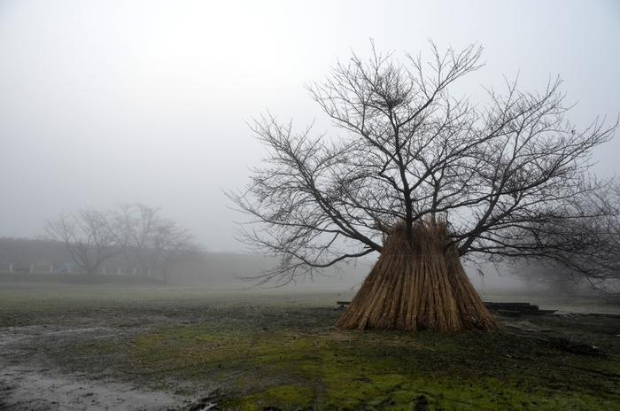 朝霧の木-1
