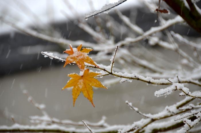 初雪 もみじ-2