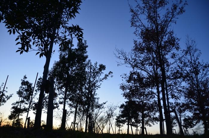 夕暮れ時 木々のシルエット-2