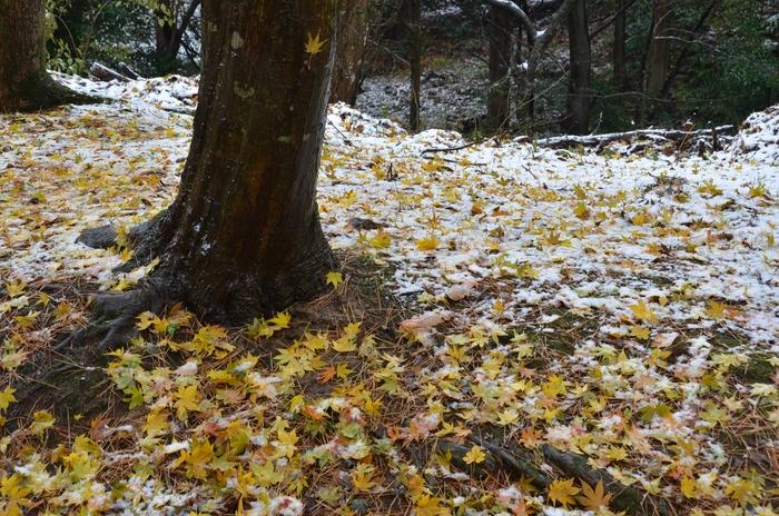初雪 もみじ-4