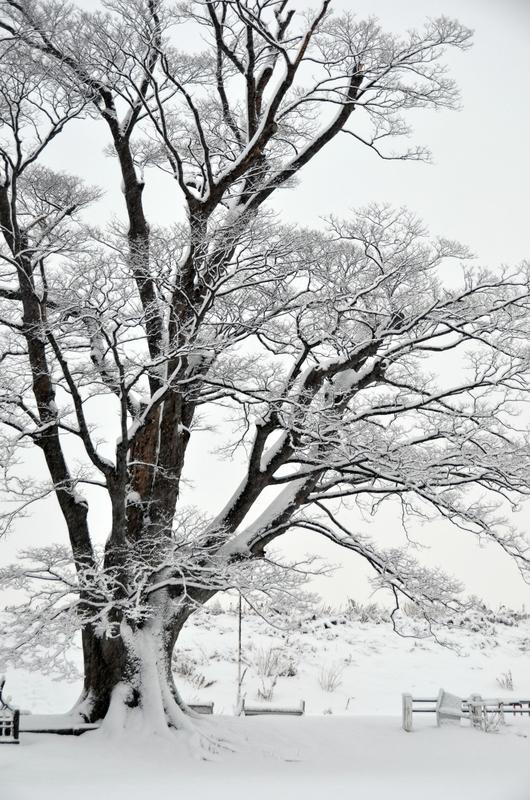 朝の雪 樹木-1