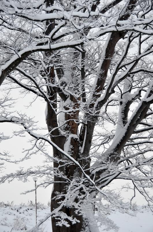朝の雪 樹木-2