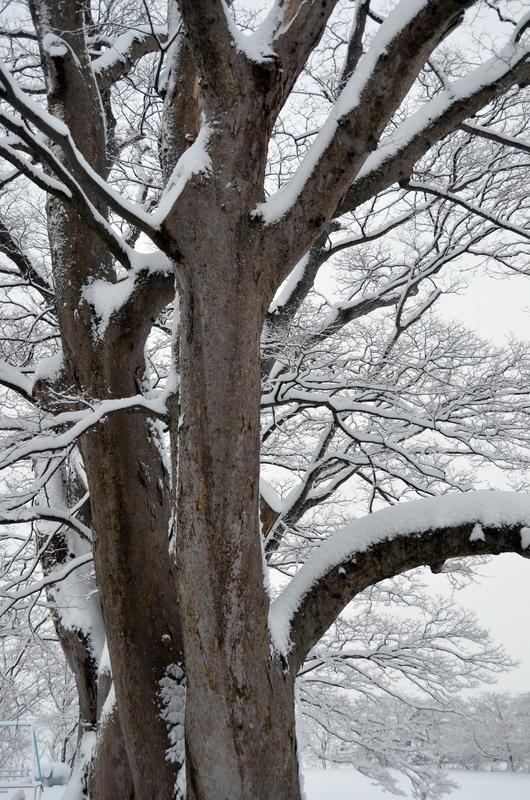朝の雪 樹木-3