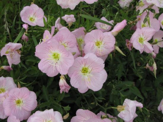 ピンクの花の拡大
