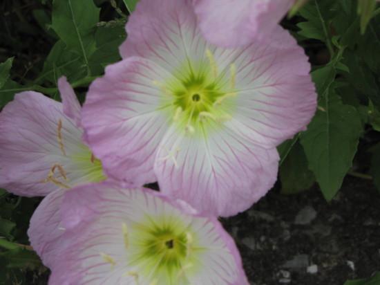 ピンクの花の再拡大