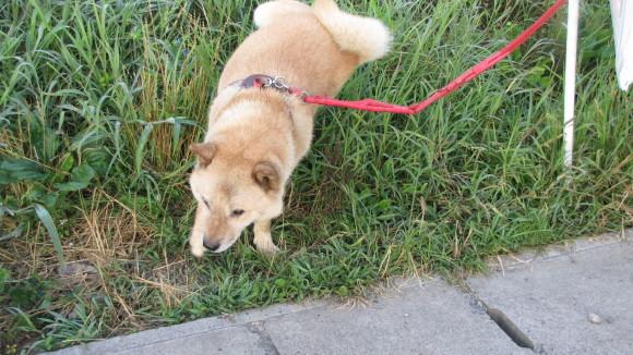 偶に合う北海道犬