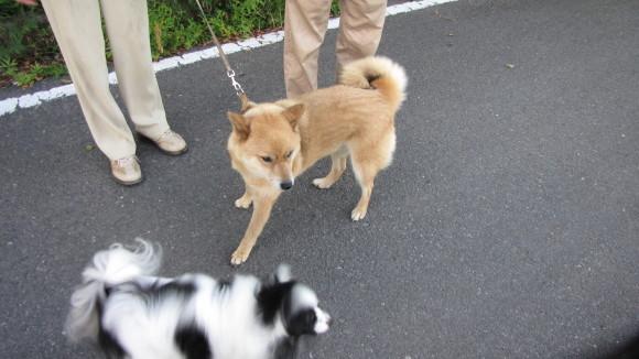 同じ団地のSご夫妻の愛犬(芝犬)