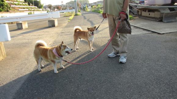 手前はSZ氏の、向こう側はあるご婦人の、それぞれ芝犬