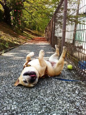 フレンチブルドッグとテニスボール