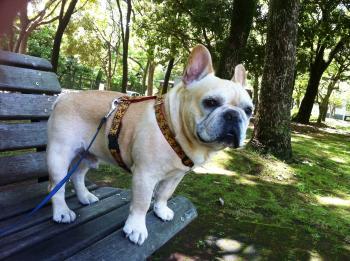 フレンチブルドッグは公園が好き