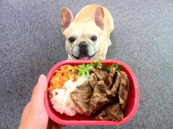 フレンチブルドッグ お弁当大好き!