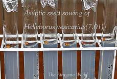 asepticseedsowinghellebovesi1008201201a.jpg