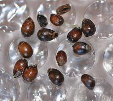 seedsgerminationhellebogoldsdself2308201201.jpg