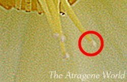 ssgoldpaleyellow2804201201pollinate.jpg