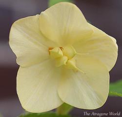 sspaleyellowgolgehnectariesxsdgold0405201202.jpg
