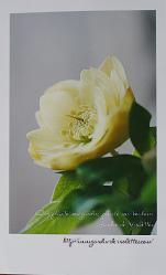yellowdoublehellebo.jpg