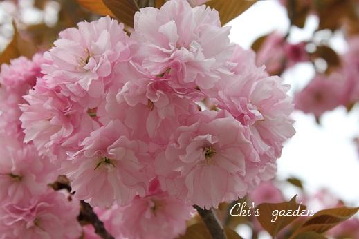 八重桜・ピンク