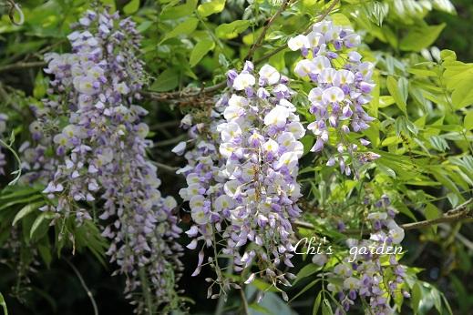 藤の花(全体)