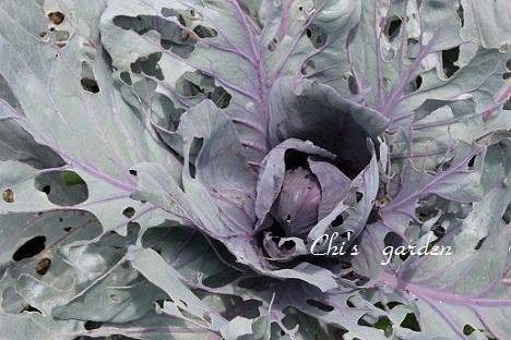 紫キャベツ(6月7日)