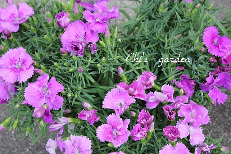 ナデシコ・赤紫(全体)