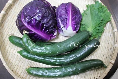 紫キャベツの収穫