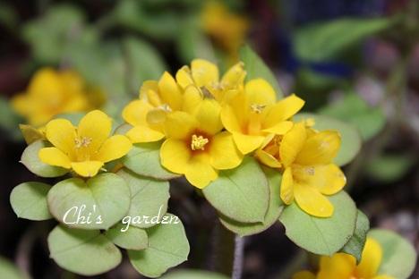 リシマキア・リッシーの花