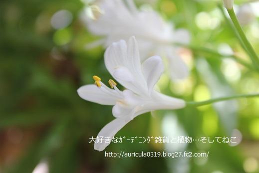 アガパンサス・白(横顔)