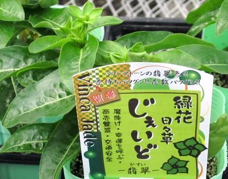 ニチニチソウ・Jade2
