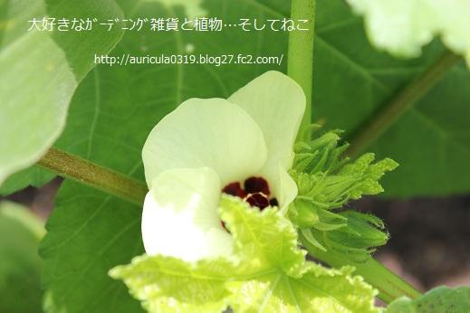 白オクラの花