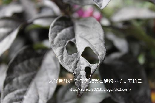 食べられた葉っぱ