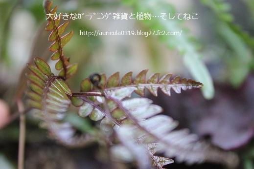 シダの新芽8月