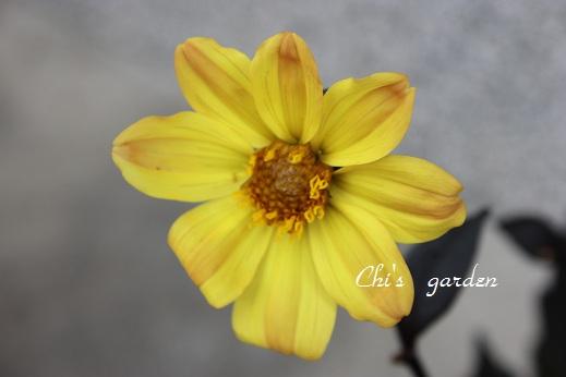 銅葉ダリア(花)