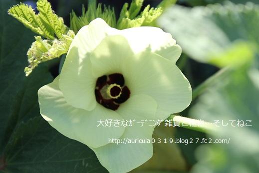 白オクラの花2