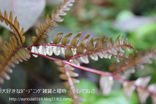 シダ(9月2日)