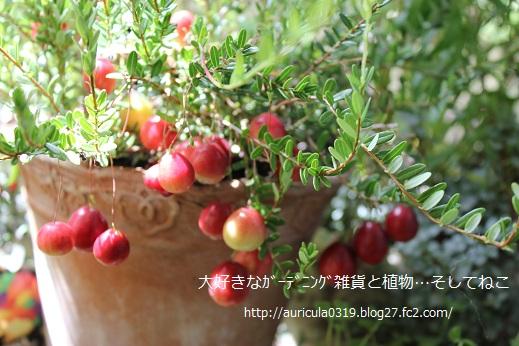 ツルコケモモ(ブログ)2