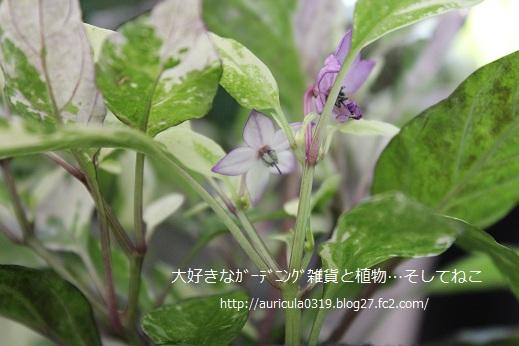 斑入り観賞用トウガラシの花