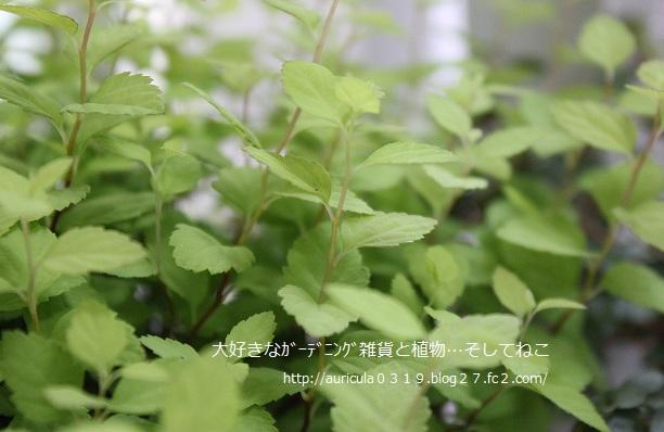 シモツケ・Gマウント(ブログ)