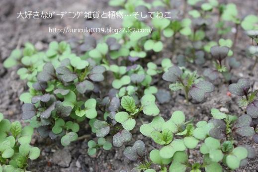 高菜と銅葉カラシナの芽