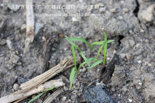 ニンジン(10月7日)