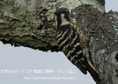 おうちの庭の小鳥2
