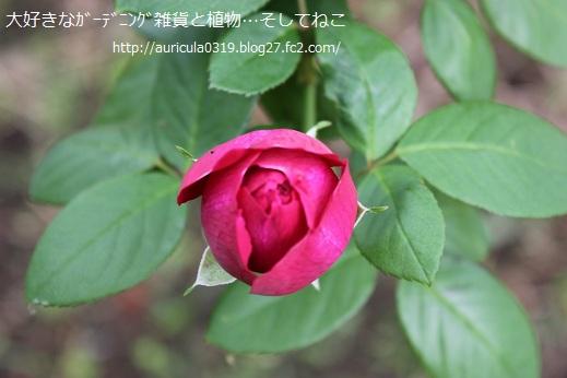 おうちのバラ