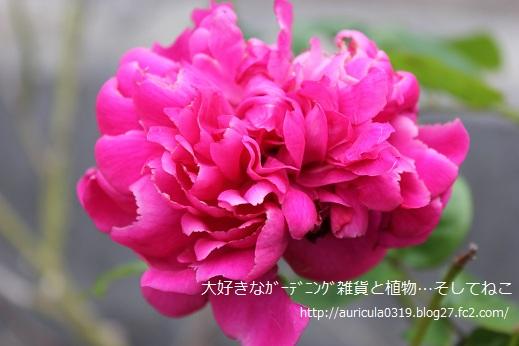おうちのバラ2