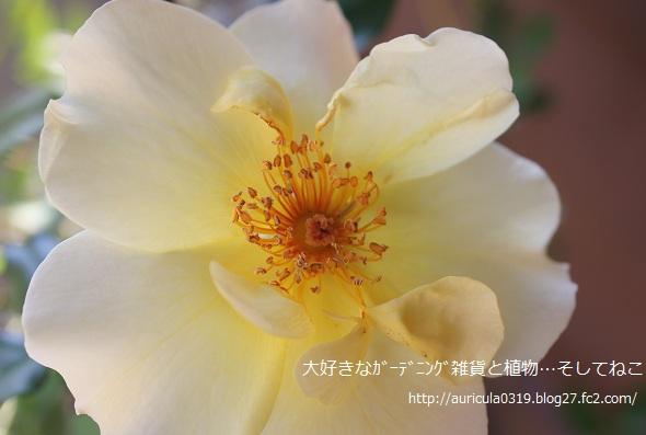 森っちのバラ